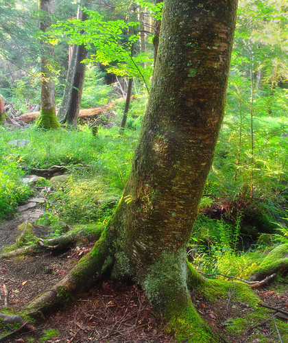 trees summer nature forest moss hiking pennsylvania creativecommons vegetation poconos pikecounty bushkill undergrowth understory delawarestateforest yellowbirch millrift palustrine betulaalleghaniensis stairwaywildarea palustrineforest