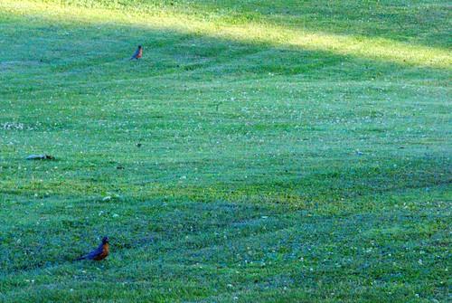 ohio green bird robin grass birds animals spring sony may alpha 2012 feathered a230 fairfieldcounty stoutsville