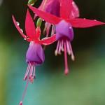 Fuchsia hibrida 'Lena'