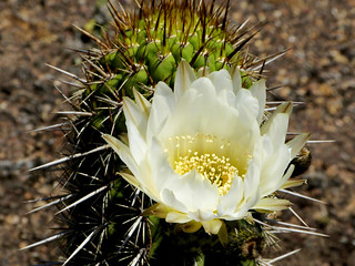 Echinopsis chiloensis #2 | by J.G. in S.F.
