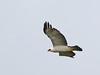 "Gavião-pato "" Spizaetus melanoleucus "" - Black-and-white Hawk-Eagle  - 230 by Celi Aurora"