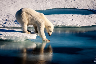 Polar Bears Across the Arctic Face Shorter Sea Ice Season | by NASA Goddard Photo and Video