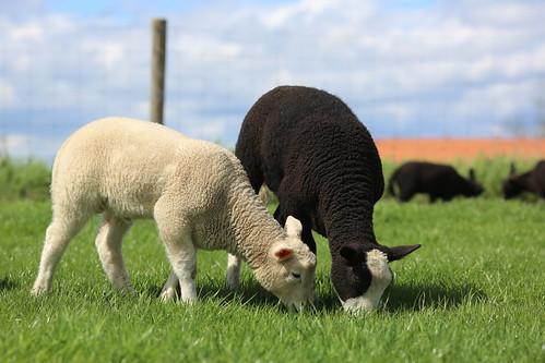 Sheeps - Balwen Welsh Mountain (black) | by Alexandre Dulaunoy