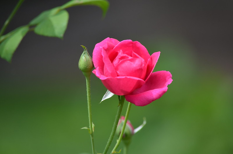 Rosy Possy