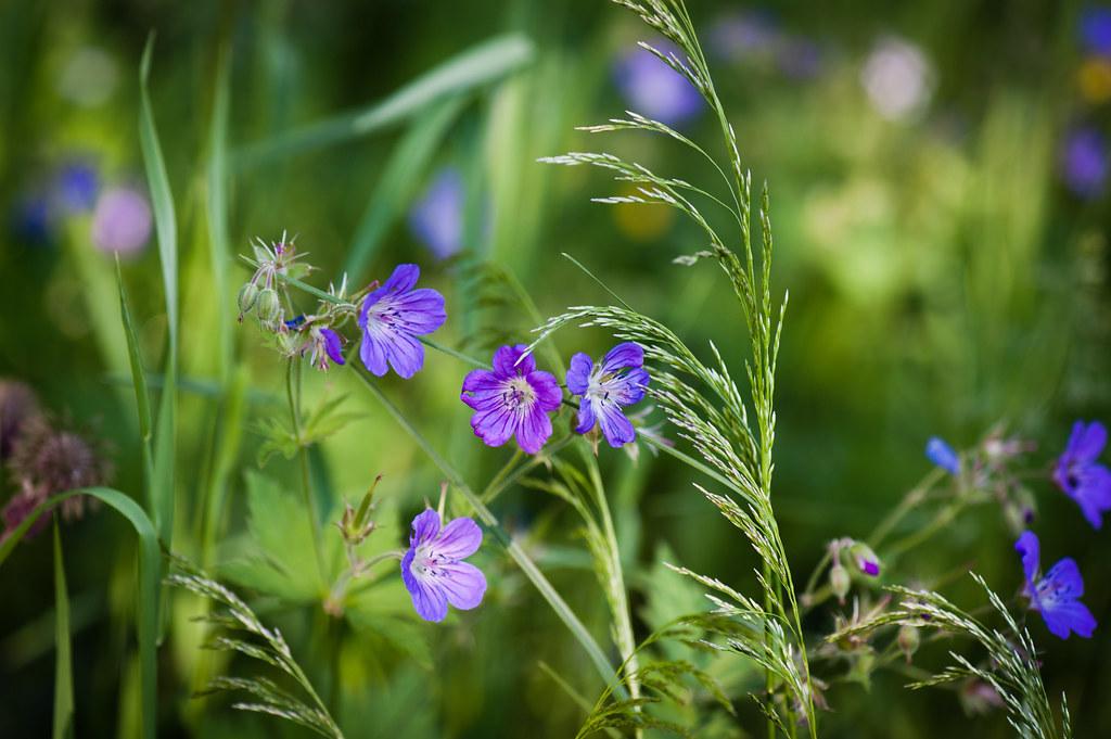 Midsummer Flowers L For Lightbox Tuomo Kokkonen Flickr