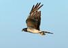Lagunero Negro, Long-winged Harrier (Circus buffoni)  by Francisco Piedrahita