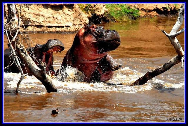 PAIR OF HIPPOPOTAMUS IN THE RIVER.....MASAI MARA (AUG 2008)......146