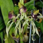 章魚蘭的花朵