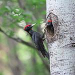 黑啄木 Black Woodpecker (クマゲラ)-雄鳥