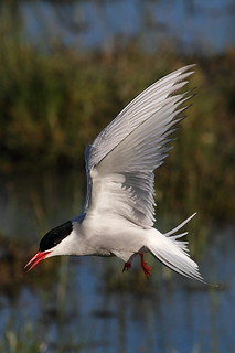 Arctic Tern | by Griffin Wildlife