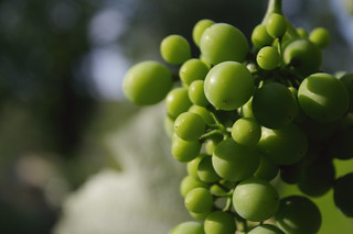 Wine grapes | by tribp