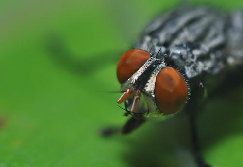 Lalat   by Syafiq Abdullah