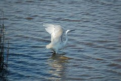 Little Egret - Lodmoor