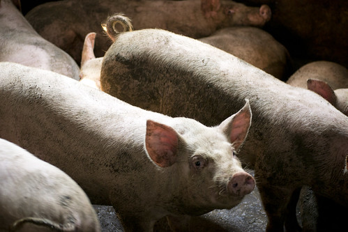 Apr/2012 - As part of the 'Managing risk in emerging pork markets: A South-South Symposium', held in Hanoi, Vietnam, April 23 - 25 2012, participants visited pig smallholders in Chương Mỹ, 30km north of Hanoi (photo credit: ILRI/Andrew Nguyen).