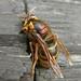 Dolichovespula media (French Wasp)