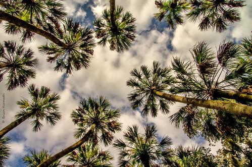 lakewoodruff florida lakewoodruffnationalwildliferefuge centralflorida cabbagepalms sabalpalmetto trees tree skies sky clouds bluesky lookingup