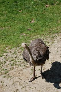 ostrich | by sadiehart