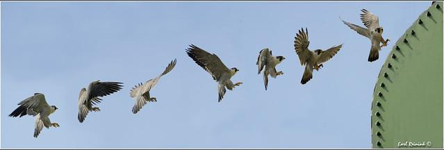 Peregrine Falcon (20120523-0400)