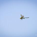 Dragonfly caught in flight