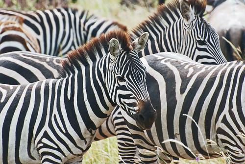 Eastern Serengeti_2012 05 31_2935 | by HBarrison