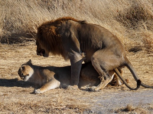 Lion and Lioness Mating | by hobgadlng
