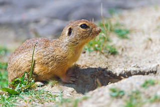 Attentive ground squirrel | by Tambako the Jaguar