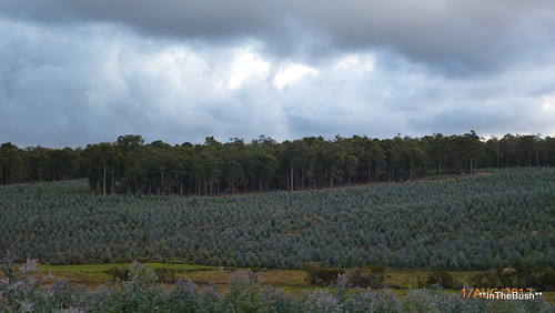 Blue-gum Plantation, second rotation | by InTheBush*
