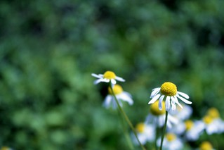 Chamomile [29/52] | by Lauren Finkel Photography