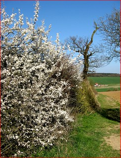 BLACKTHORN HEDGEROW | by Norfolkboy1