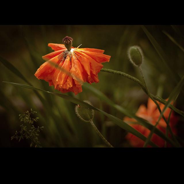 poppies after rain - enlighten by sun again