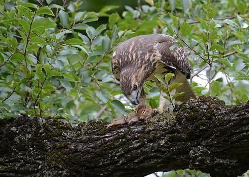 birds birdsofprey raptors hawks redtailedhawk hawkredtailed nikon nikond7100 tamronsp150600mmf563divc jdawildlife johnny newyorkbotanicalgardens rthachipmunkbreakfast wow