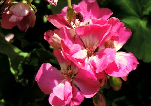 nikon coolpix p520 orabi egypt nature outdoor closeup macro stamen pistil plant flower petal bud tree leaf leaves foliage red green white pink زهرة زهور أزهار