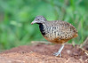 Barred Buttonquail (Female) - Turnix suscitator (1) by Andy_LYT