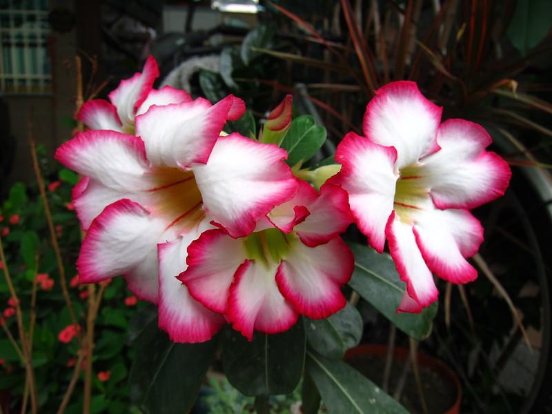 沙玫又多了一朵花