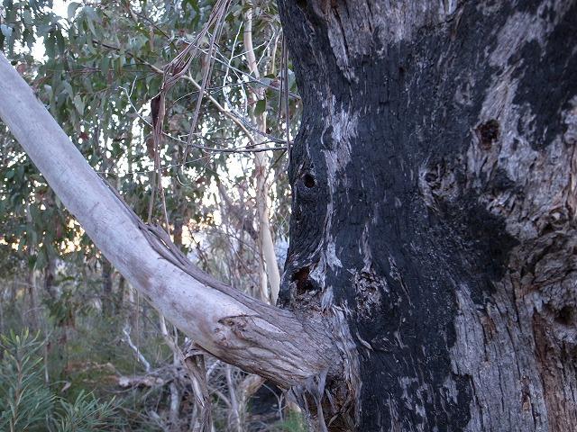 <p>c)火事で焼けたユーカリの木そこにも新しい枝が出てきています。</p>