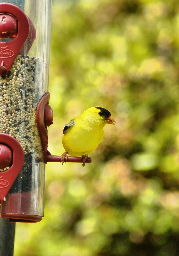 male goldfinch eating