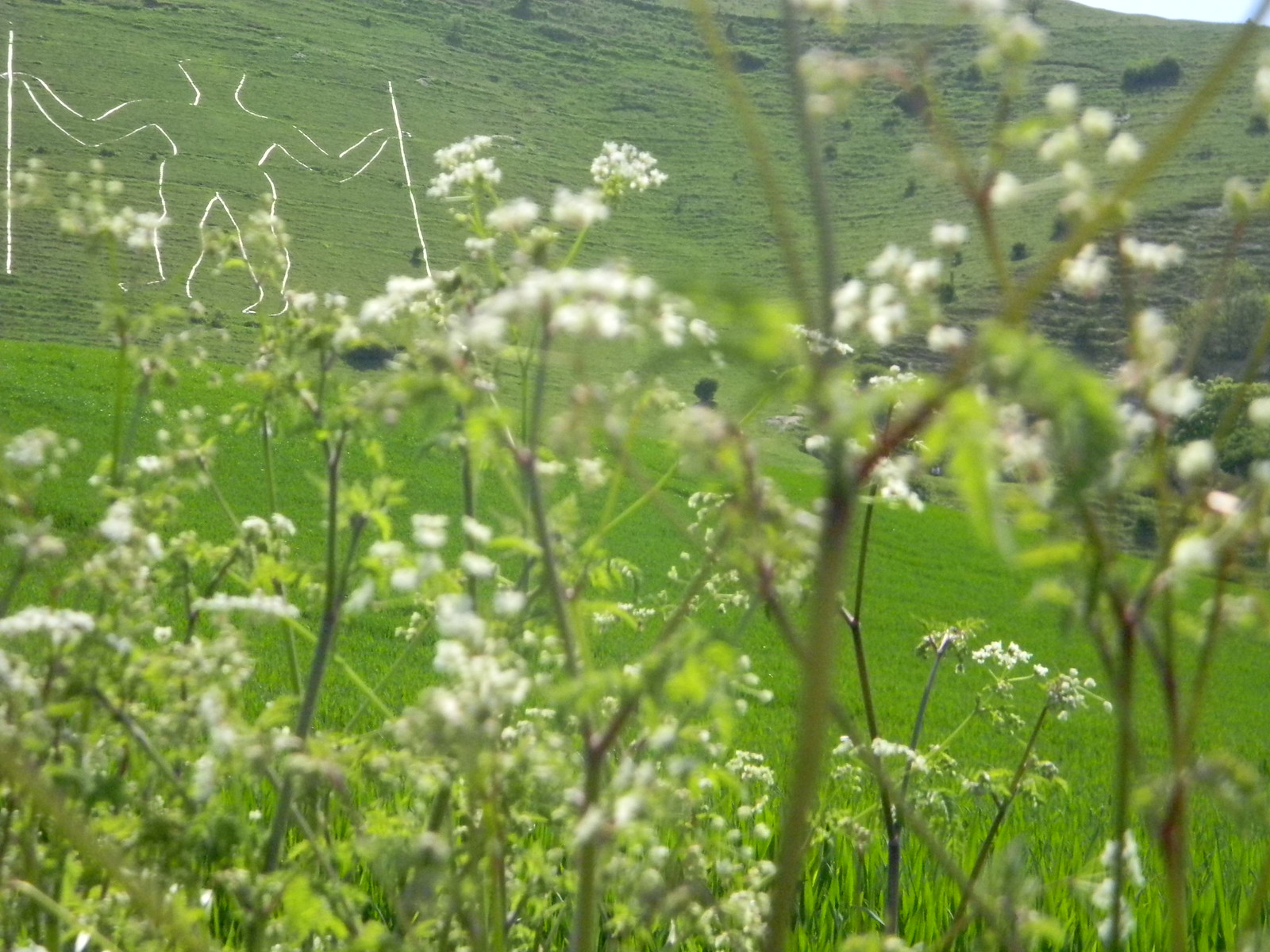 Long Man with cow parsley Berwick to Birling Gap