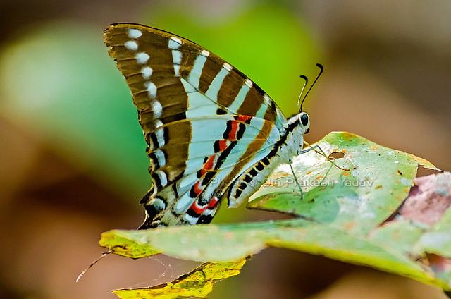 Spot Swordtail Butterfly