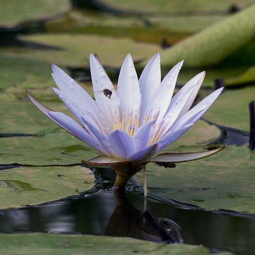 waterlily nairobi honeybee nairobinationalpark nairobikenya naturesgreenpeace mothernaturesgreenearth canoneos5dmkiii