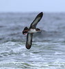 Pink-footed Shearwater by RedAbbott