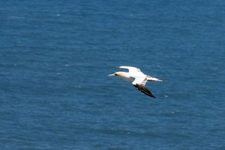 Gannet | by Army Ornithological Society