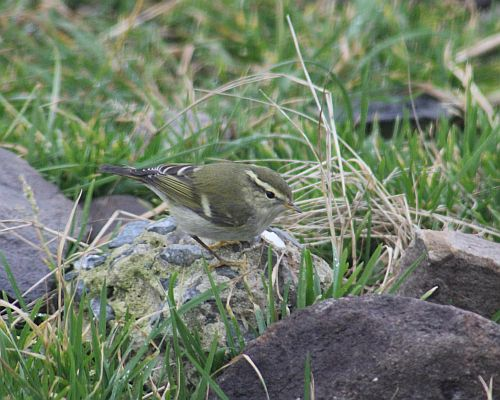 Yellow-browed Warbler (1)   by Army Ornithological Society