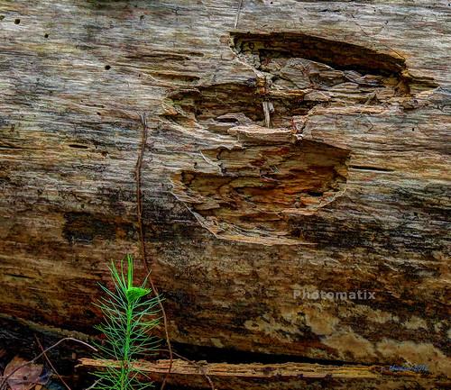 wood trees pine hdr photomatix canonsx40