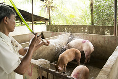 Jul/2012 - A local slaughterhouse worker in Binh Phuoc Province, Vietnam, cools down his pigs with the help of a hose (photo credit: ILRI/Andrew Nguyen).