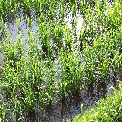 田んぼの稲、田植えのころに比べるとしっかりしてきました。 | by indiepopclub