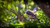 YELLOW-HEADED CARACARA 2 by Nigel Bewley