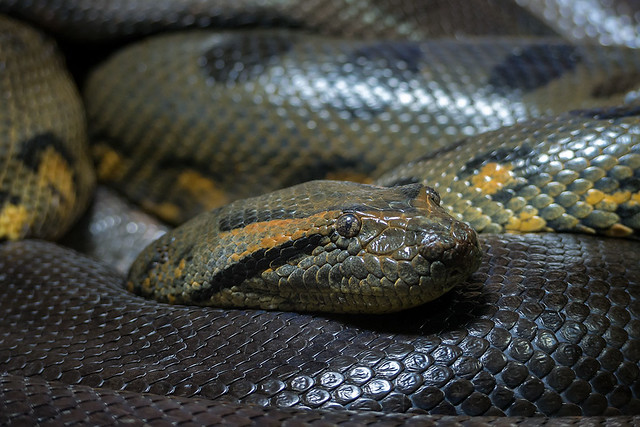 Anakonda, Anaconda