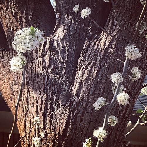 tree spring lubbock flowers blooming bark