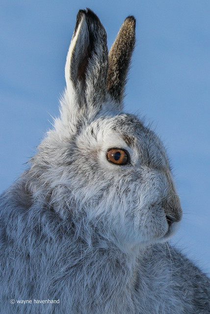 Mountain Hare just lifting his head into the light at the right time