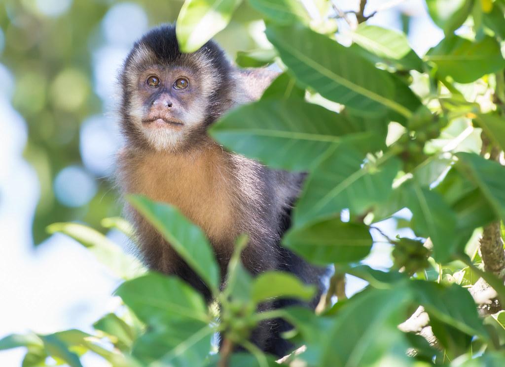 Macaco-prego, Black Capuchin (Sapajus nigritus)